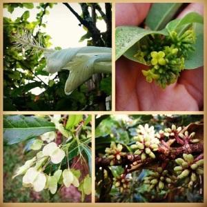 hilo botany.PNG