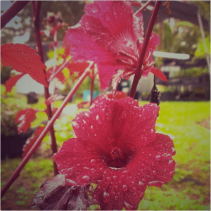 pua aloalo - Hibiscus acetosella